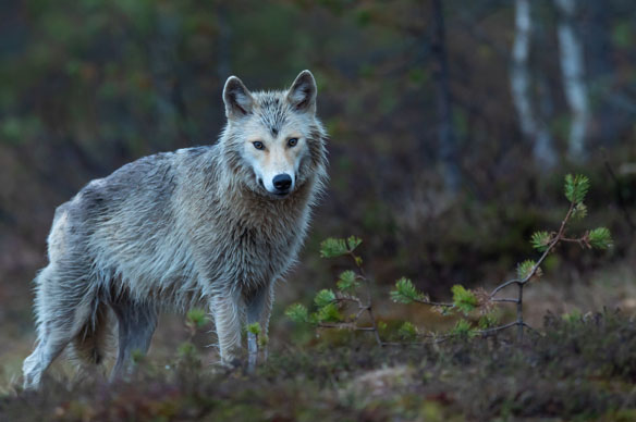 Insider-threat competition releases a cyber wolf in its flock